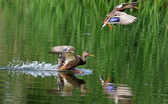 Охота на уток в охотхозяйстве